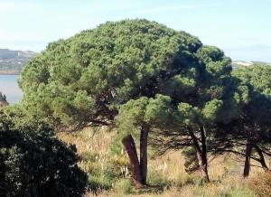 Manco Tree